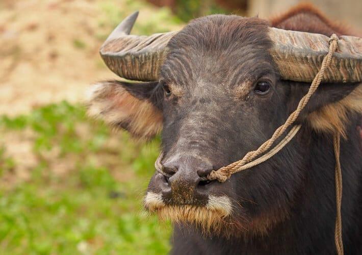 20190415-Vietnam-Wasserbüffel