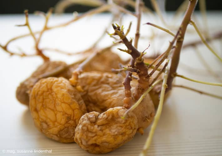 20200429-Kartoffel-ausgewachsen-treibt-aus