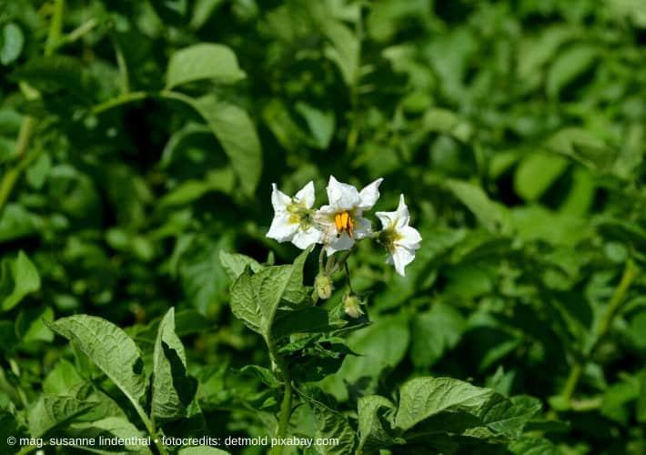 20200429-Kartoffelnpflanze-mit-Blüte