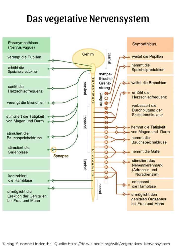 Die-Geschichte-vom-Säbelzahntiger-das-vegetative-Nervensystem