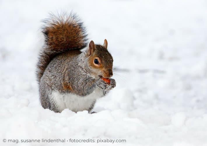 20201223-Eichhörnchen-im-Schnee